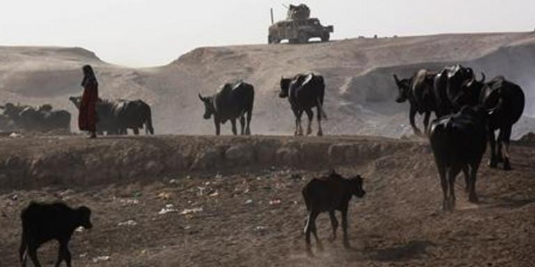 Ιράκ: Το ISIS εξαπέλυσε επίθεση με παγιδευμένες με εκρηκτικά αγελάδες