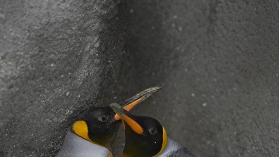 Βρετανία: Γκέι πιγκουίνοι υιοθέτησαν το πρώτο «ουδετέρου γένους» πιγκουινάκι
