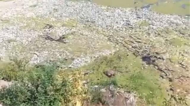Νεκρά ψάρια ξεβράζει ο Πηνειός στα Τρίκαλα