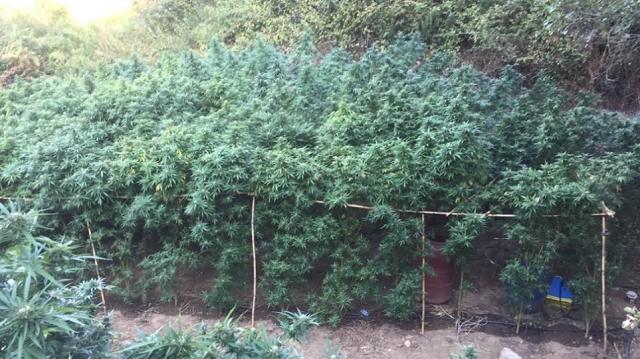 Βοσκός «εγκέφαλος» φυτείας με 300 θηριώδη χασισόδεντρα