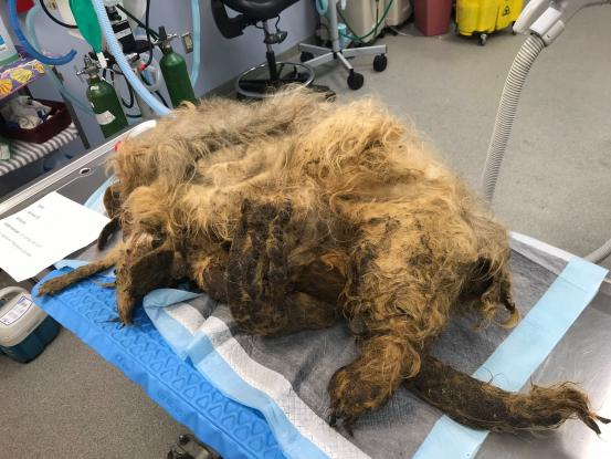 Δείτε τι «κρυβόταν» κάτω από έναν παραμελημένο σκύλο που ήταν άμορφη μάζα μαλλιών