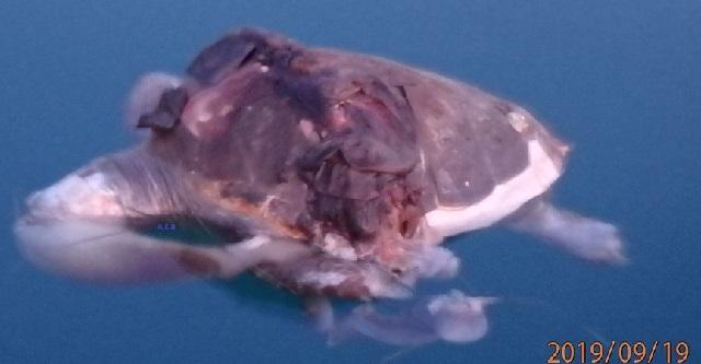 Νεκρή χελώνα καρέτα –καρέτα στο λιμάνι του Βόλου