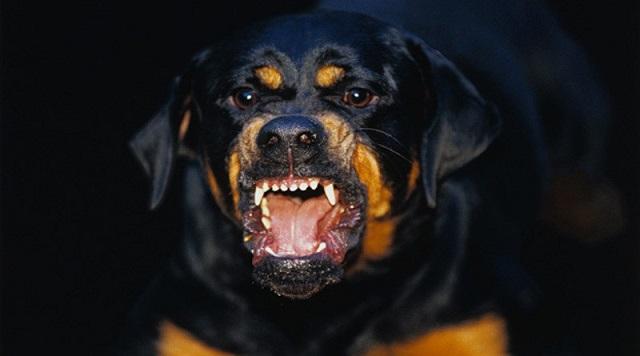 Ροτβάιλερ: Ο θείος του βρέφους θέλει τον σκύλο -«Δεν χρειάζεται να θανατωθεί» λέει κτηνίατρος