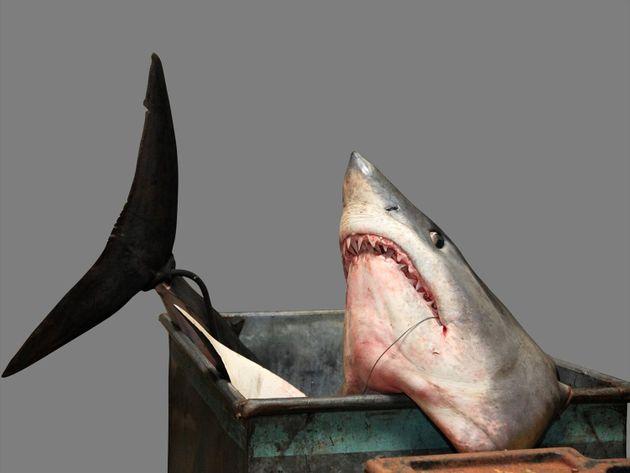 Βρετανία: Σκότωσαν σπάνιο μπλε καρχαρία και τον έφαγαν σε φεστιβάλ θαλασσινών