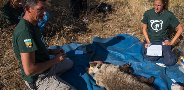 Αρκουδάκι απεγκλωβίστηκε από παράνομη παγίδα σε αμπελώνα στα Τρίκαλα