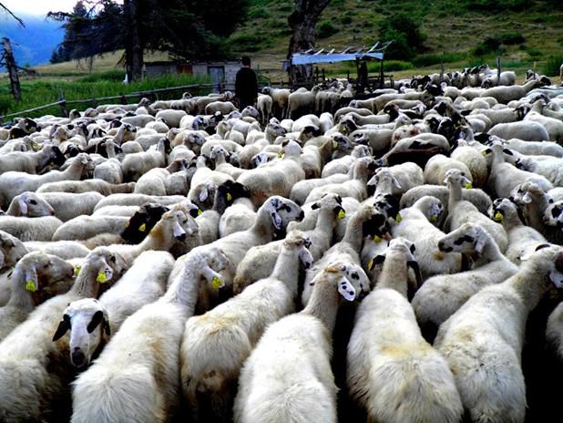 Έκλεψαν κοπάδι με 162 πρόβατα στο Αχίλλιο