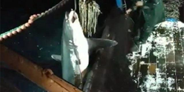 Ψάρεψαν καρχαρία-αλεπού 2 μέτρων και 200 κιλών