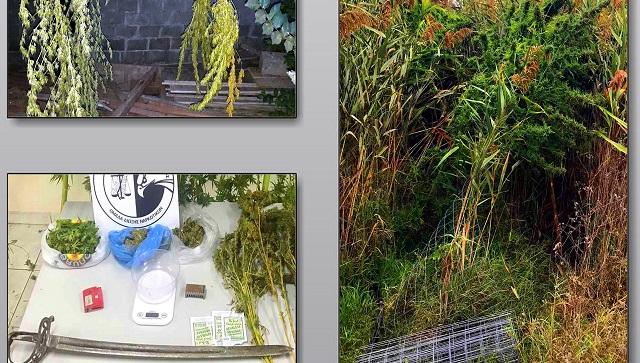 Εστησαν φυτεία κάνναβης στο ποιμνιοστάσιο τους στα Τρίκαλα
