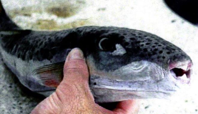 """""""Εισβολή"""" ξενικών ψαριών από την Ερυθρά Θάλασσα στην Ελλάδα"""