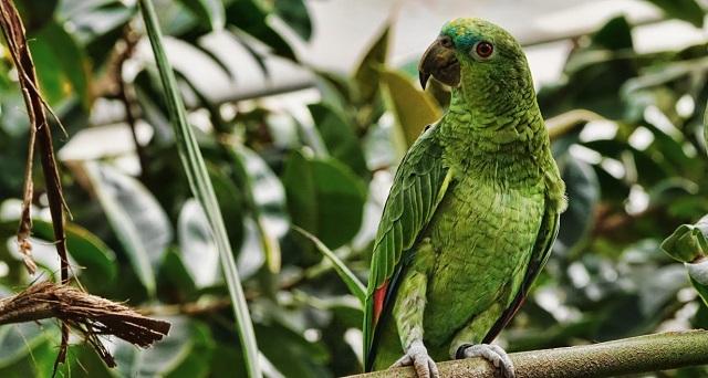 Πράσινοι παπαγάλοι στην Αθήνα: Γιατί στην Ευρώπη θέλουν να τους εξοντώσουν