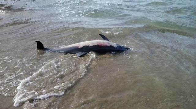 Νεκρό δελφίνι σε παραλία του Πτελεού