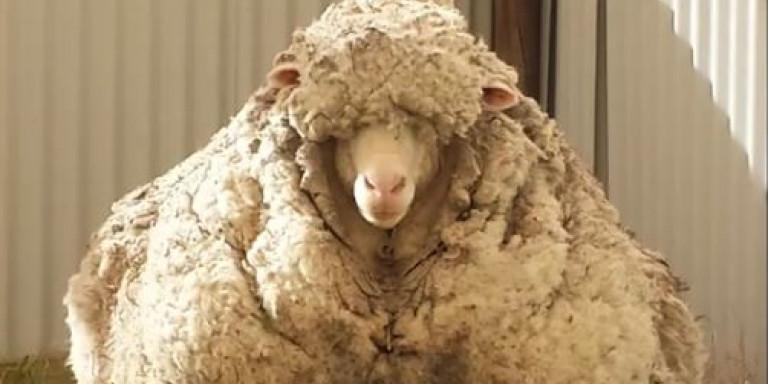 Πέθανε το πρόβατο με το βαρύτερο τρίχωμα στον κόσμο [εικόνες]