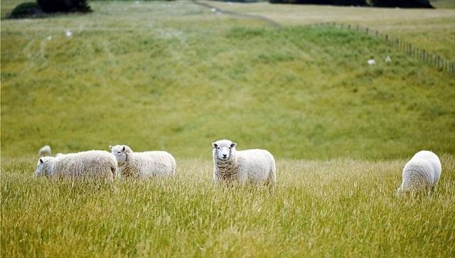 Έσφαξε το πρόβατο γείτονα επειδή μπήκε στο κτήμα του