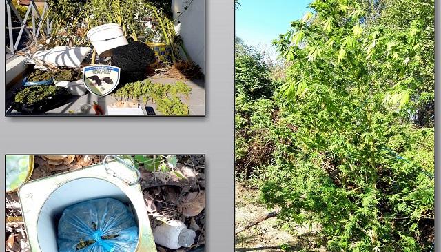 Διατηρούσε φυτεία κάνναβης σε παραποτάμια περιοχή των Τρικάλων