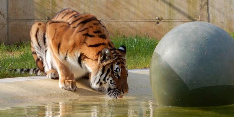 Φόρεσαν χρυσό κυνόδοντα σε τίγρη! [εικόνες]