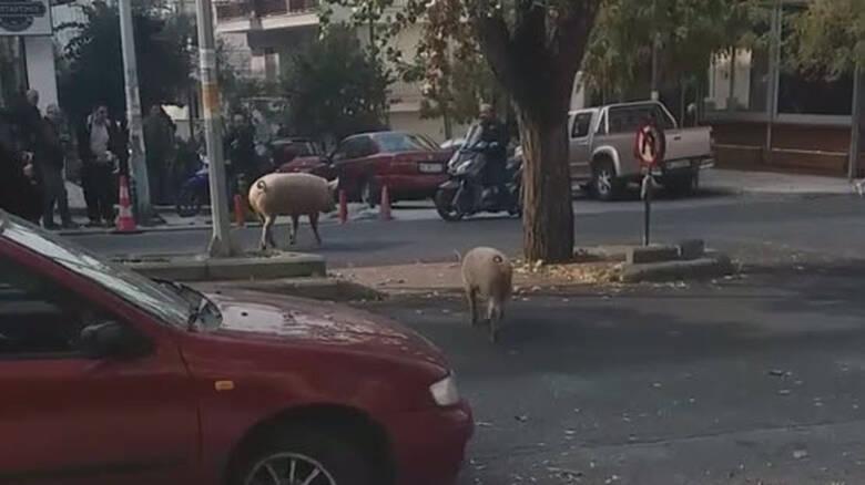 Γουρούνια πήγαν για... καφέ στη Θεσσαλονίκη