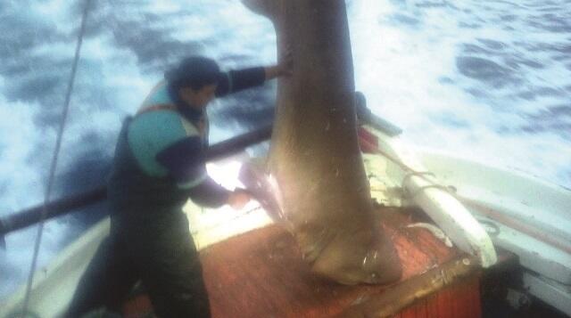 Καρχαριοειδές 400 κιλών πιάστηκε μεταξύ Σκιάθου και Πλατανιά