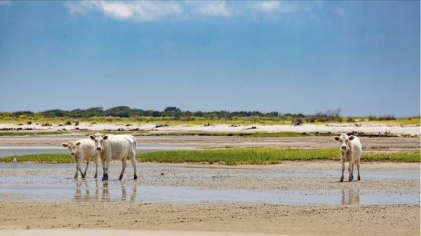 Aγελάδες που παρασύρθηκαν από τον τυφώνα Ντόριαν στις ΗΠΑ βρέθηκαν ζωντανές σε ερημονήσι