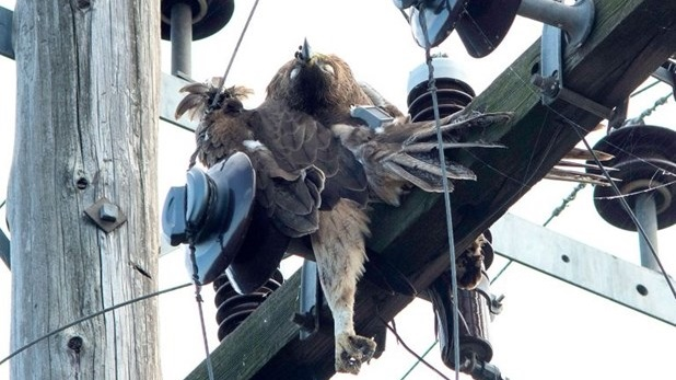 Σπάνιος αετός πέθανε στη Θεσσαλία από ηλεκτροπληξία σε πυλώνα ρεύματος