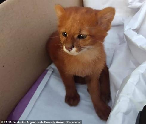 Βρήκε αδέσποτο γατάκι στο δρόμο & το πήρε να το μεγαλώσει μέχρι που ανακάλυψε ότι ήταν ένα πούμα