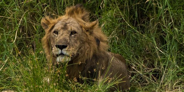 Ετσι φτερνίζεται ένα λιοντάρι