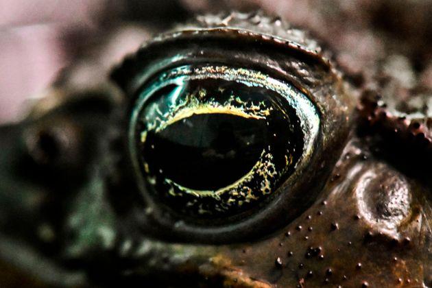 Βάτραχος «μεταμορφώνεται» σε οχιά για να αποφύγει τις επιθέσεις