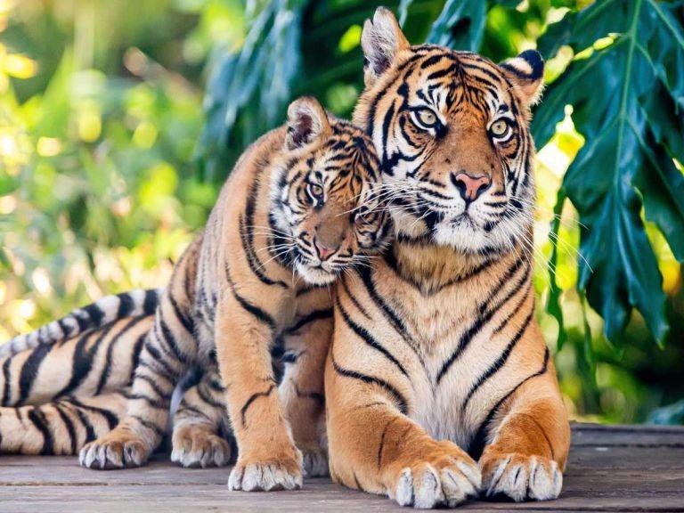 Πέντε τίγρεις μετά από ταξίδι θανάτου έφθασαν στην Ισπανία