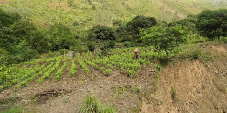 Περού: Καταστράφηκαν 250.000 στρέμματα καλλιέργειας κόκας