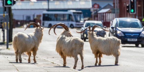 Viral οι κατσίκες που «κατέλαβαν» τους δρόμους μιας πόλης-φάντασμα στην Ουαλία
