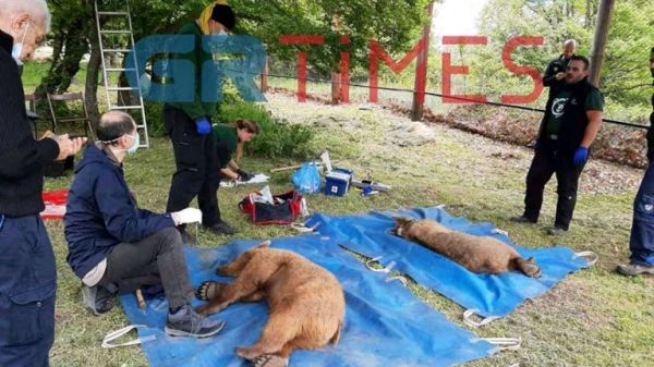 Επιστροφή στη φύση για δύο νεαρά αρκουδάκια που απελευθέρωσε ο Αρκτούρος