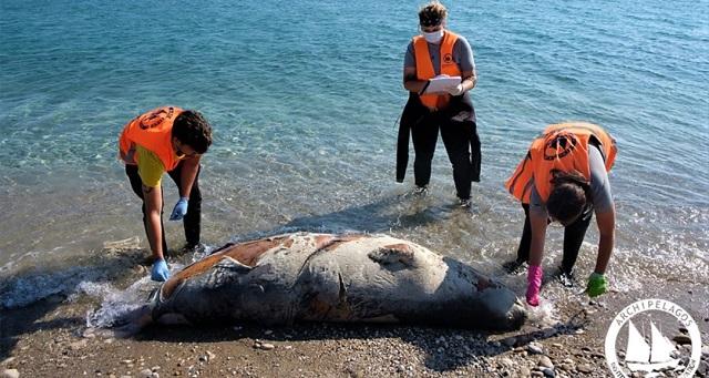 Νεκρές μεσογειακές φώκιες