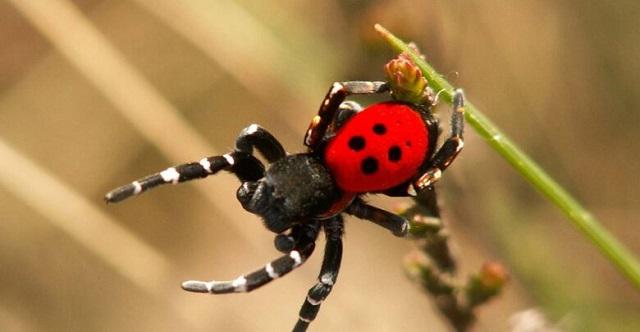 Σπάνιο είδος αράχνης – πασχαλίτσας εμφανίστηκε στη Λάρισα!