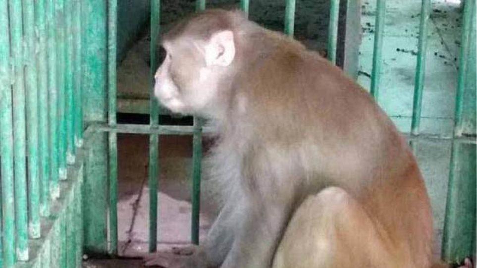 Αλκοολική (!) μαϊμού σκόρπισε τον τρόμο και τον θάνατο στην Ινδία