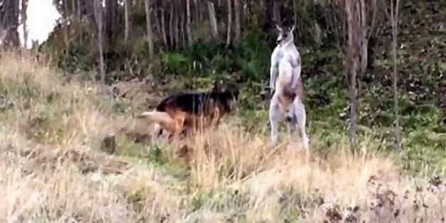 Επικός καβγάς σκύλου με καγκουρό! Επενέβη αστυνομικός!
