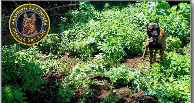 Οργανωμένη φυτεία κάνναβης έστησαν δύο άτομα στα Τρίκαλα