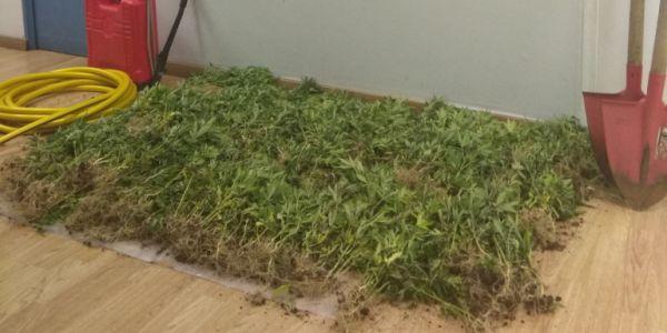 Φυτεία δενδρυλλίων κάνναβης εντοπίστηκε στα Γεράνεια Oρη