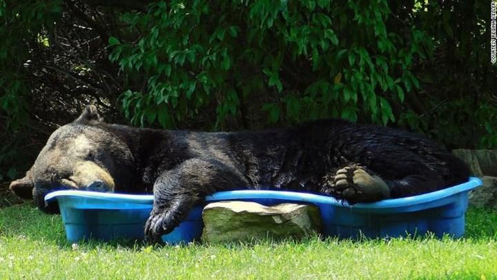 Αρκούδα χαλαρώνει σε... παιδική πισίνα