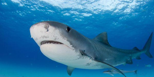 Λευκός καρχαρίας σκορπά τον τρόμο στις ΗΠΑ - Επιτέθηκε και σκότωσε 63χρονη λουόμενη