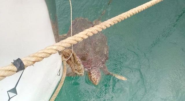 Απελευθέρωσε και δεύτερη θαλάσσια χελώνα [βίντεο]