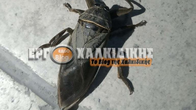 Χαλκιδική: Ανησυχία για την εμφάνιση σπάνιου εντόμου - Tο δάγκωμά του είναι δηλητηριώδες