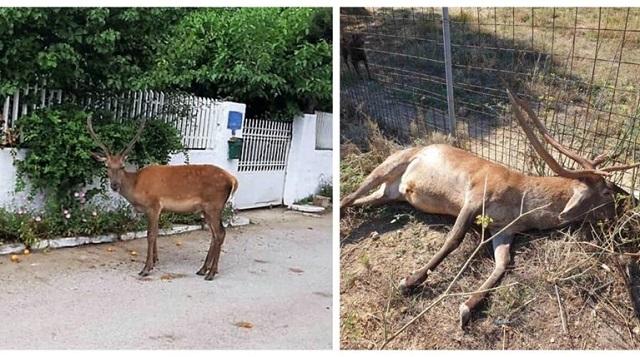 Νέα κτηνωδία: Σκότωσαν το ελαφάκι που ζούσε κοντά σε σπίτια στους πρόποδες της Πάρνηθας