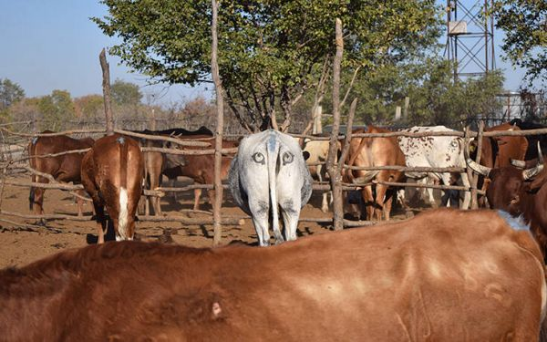 Γιατί ζωγραφίζουν μάτια στους πισινούς των αγελάδων