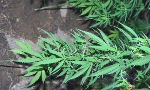 «Ορφανή» φυτεία κάνναβης εντοπίστηκε στην Καρδίτσα