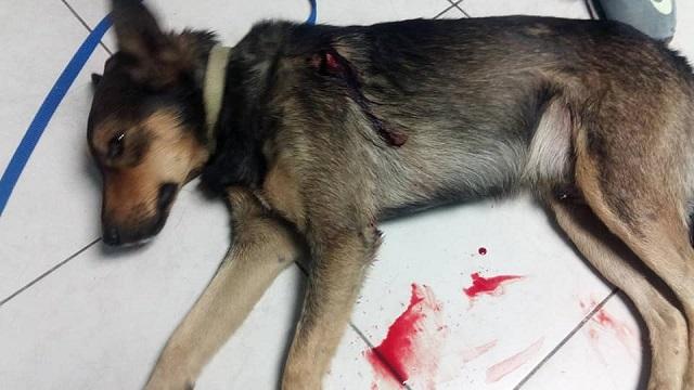Μαχαιρωμένο βρέθηκε σκυλάκι στη Νέα Ιωνία
