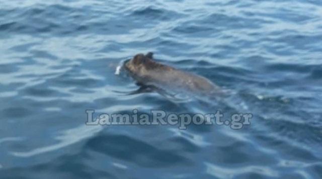 Ψαράδες ανοιχτά της Λαμίας κυνηγάνε... αγριογούρουνο στη θάλασσα