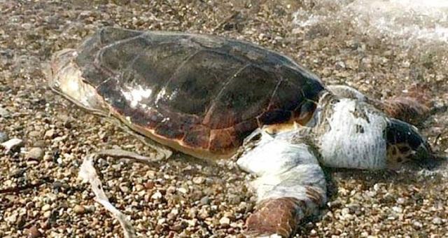 Θαλάσσια χελώνα βρέθηκε νεκρή στα Λεχώνια