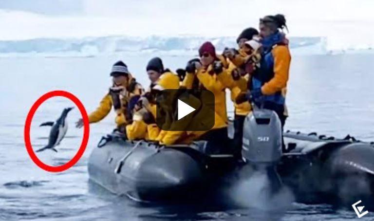 Πιγκουίνος ξεφεύγει από πεινασμένη όρκα πηδώντας σε φουσκωτό με τουρίστες