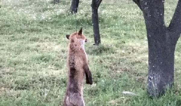 Φρίκη: Κρέμασαν αλεπουδάκι σε δέντρο στη Σούρπη
