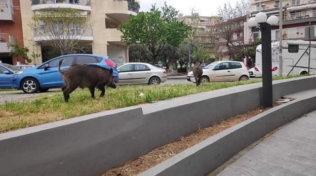Αγριογούρουνα κόβουν βόλτες στη Θεσσαλονίκη ψάχνοντας φαγητό