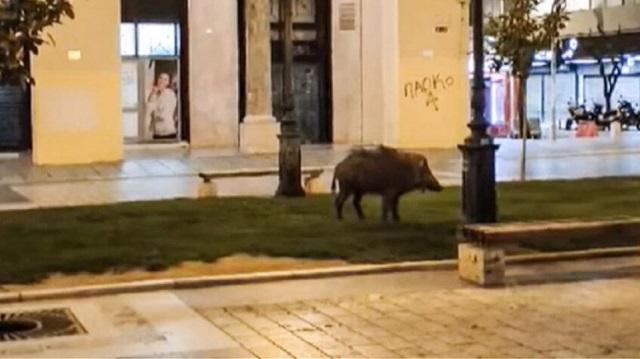 Αγριογούρουνο έκοβε βόλτες στην πλατεία Αριστοτέλους!